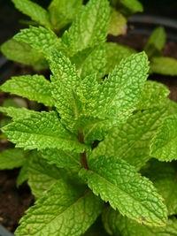 Die Minzpflanze produziert gefährliche Stoffe